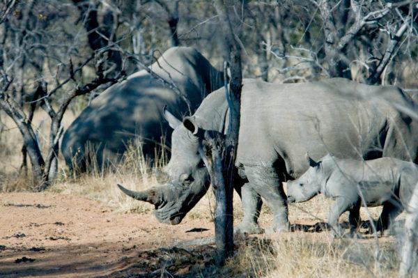 White Rhino Family on Private Sanctuary, South Africa, © M.C.Tobias