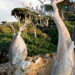Caudiciforms [bottle trees] (Adenium obesum socotranum), Socotra, Yemen, © M.C. Tobias