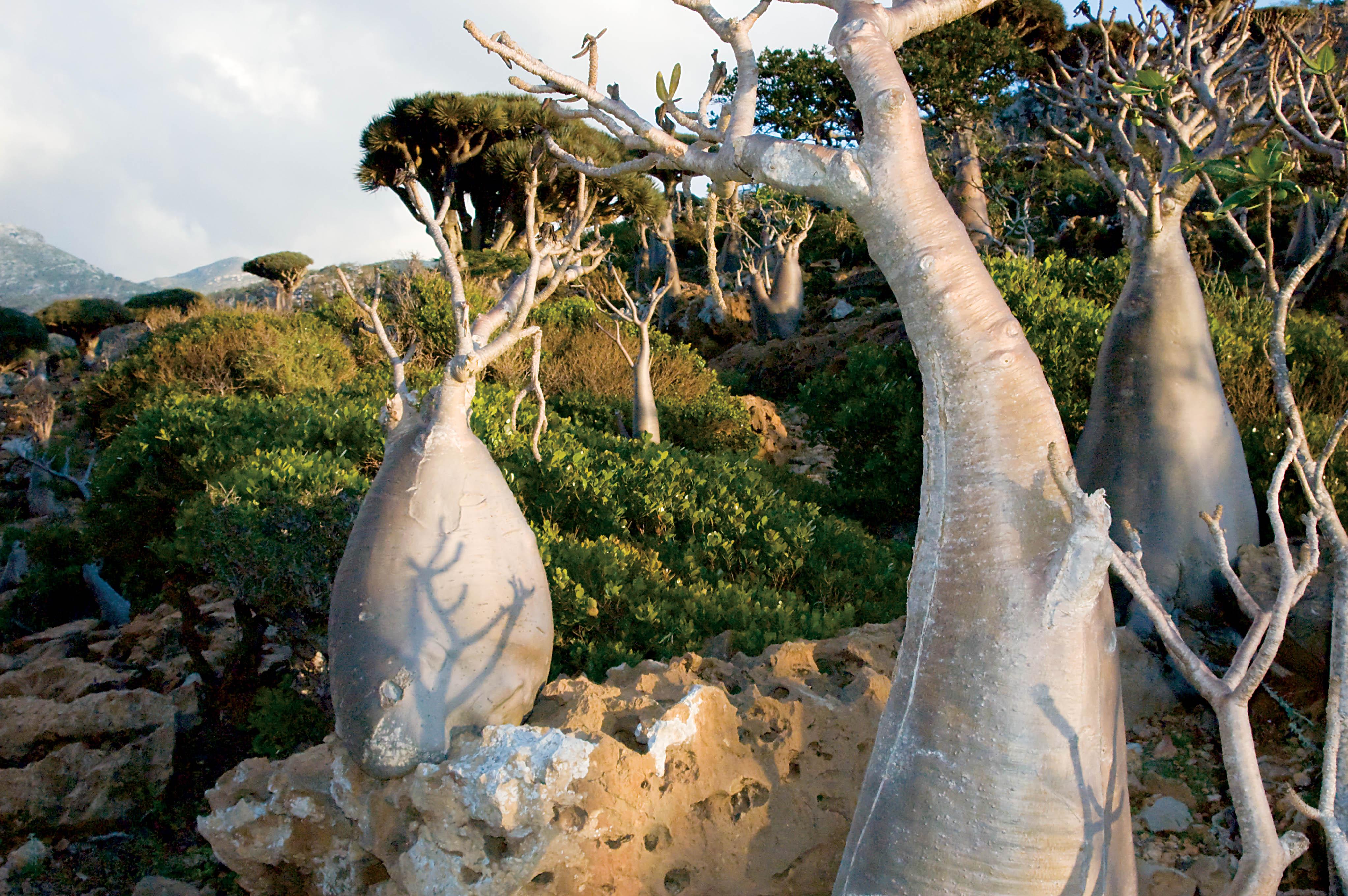 Caudiciforms [bottle trees] (Adenium obesum socotranum), Socotra, Yemen, © M. C. Tobias