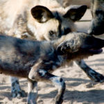 Amid the Largest Protected Pack of African Wild Dogs at Harnas Sanctuary, Namibia, © M.C. Tobias