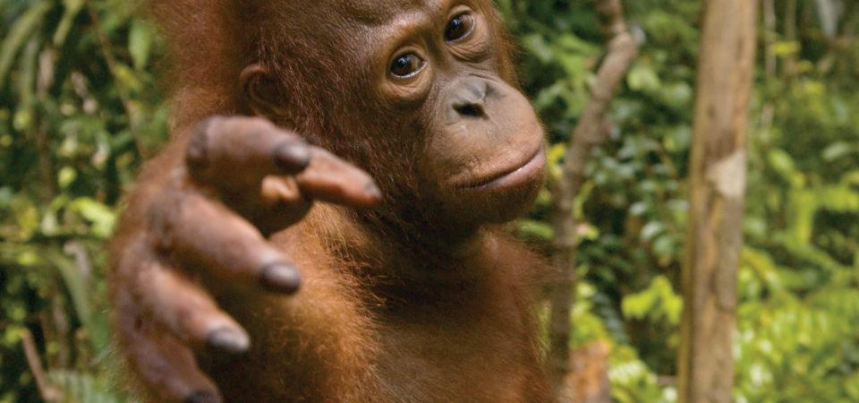 Young Orangutan at Tanjung Puting National Park, Kalimantan, Indonesian Borneo, © J.G.Morrison