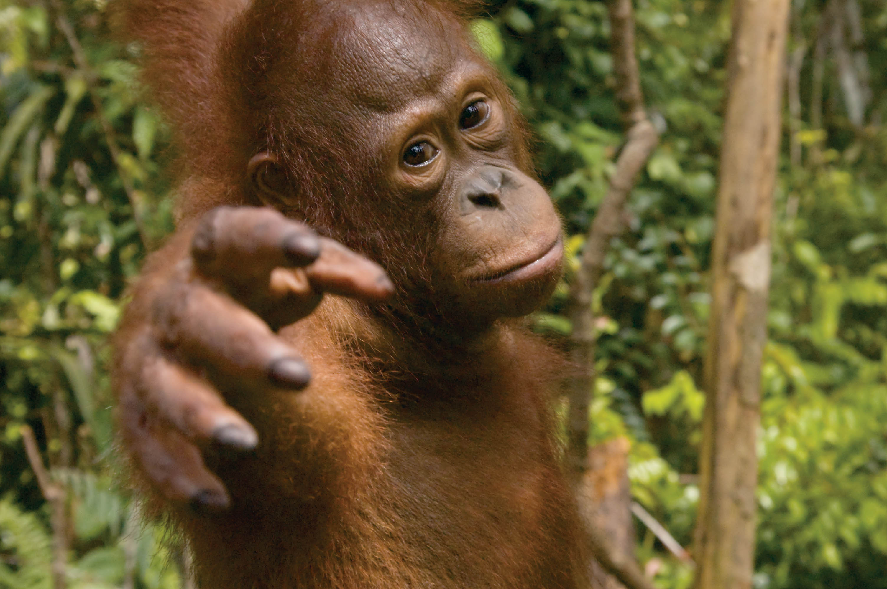 Young Orangutan at Tanjung Puting National Park, Kalimantan, Indonesian Borneo, © J.G.Morrison