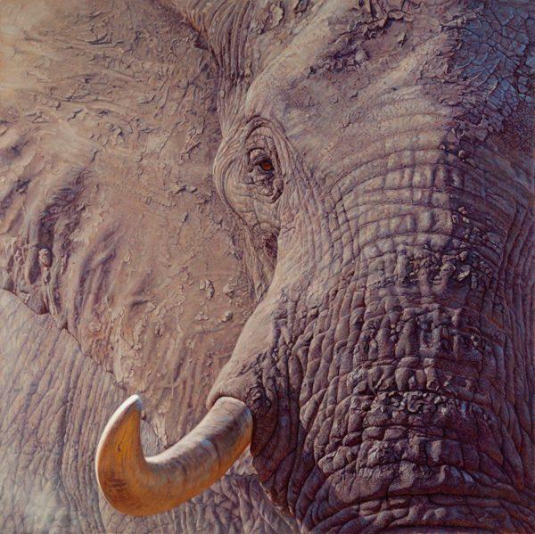 John Banovich Tusk, 2014 , Oil on Belgian Linen, 85 x 85 inches, © John Banovich