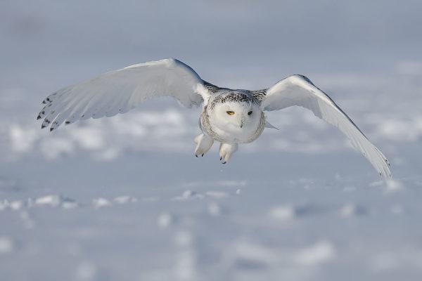 Snowy-owl by Bert de Tilly | Wikimedia | CC BY-SA 3.0