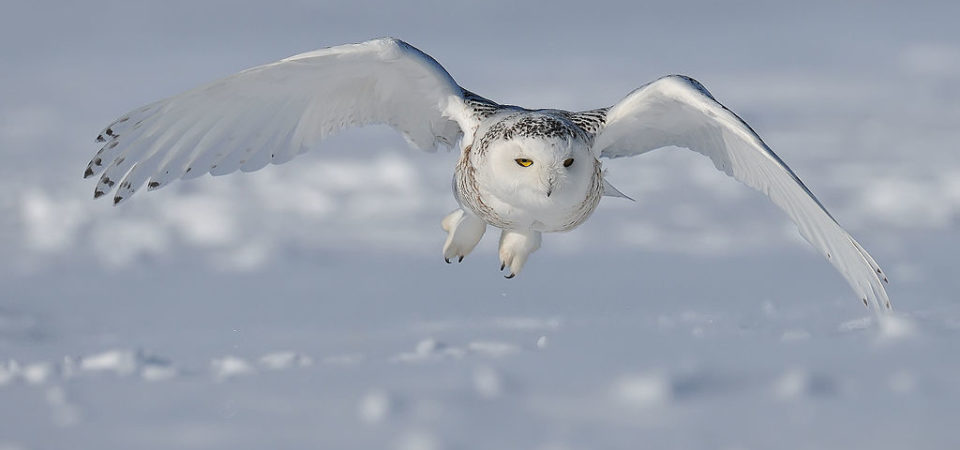 Snowy-owl by Bert de Tilly | Wikimedia | CC BY-SA 3.0