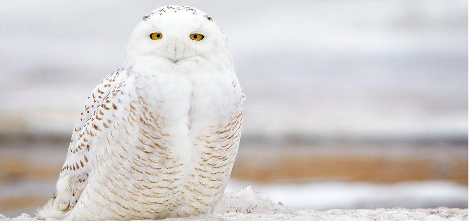 Snowy Owl 03-03-14 by nebirdsplus | Flickr | CC BY-NC-ND 2.0