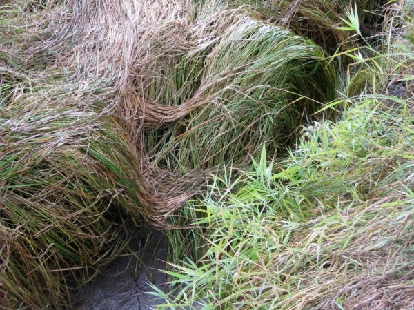 Delta grasses in Puget Sound (Whulge in Twalshootseed) Photo by Basia Irland