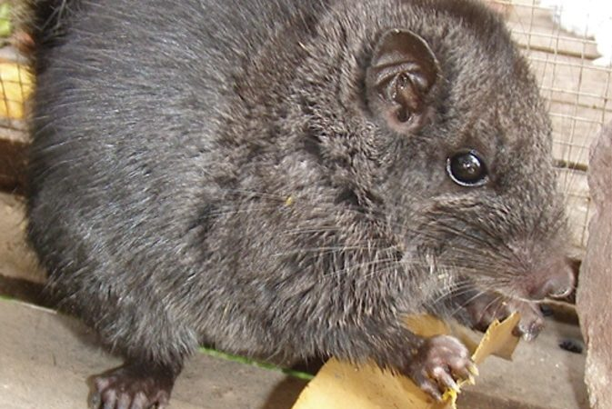 Young male Laotian rock rat, Laonastes aenigmamus (Diatomyidae, Rodentia)  by Jean-Pierre Hugot | Wikipedia | CC BY 2.5