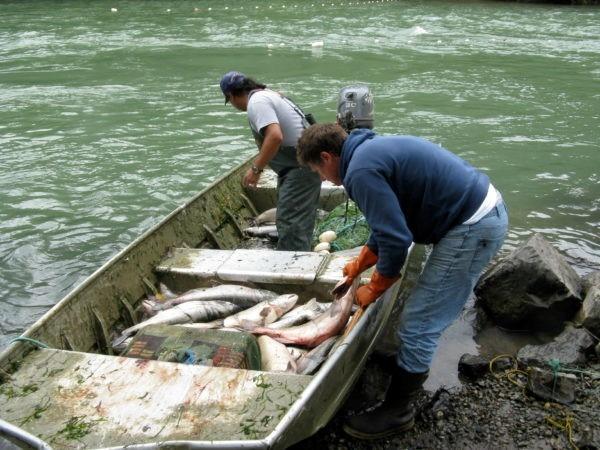 Unloading salmon, photo by Basia Irland