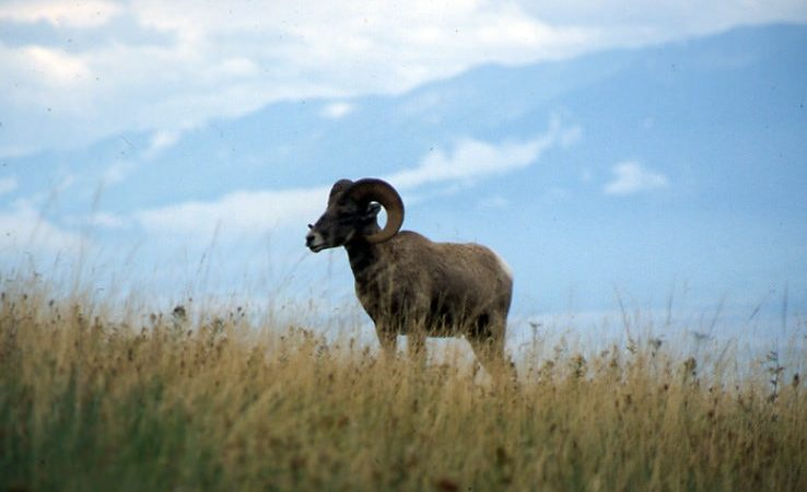 Bighorn Sheep by Oregon Department of Agriculture | Flickr | CC BY-NC-ND 2.0