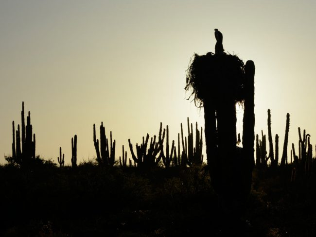 Osprey nest on a cardón cactus, Punto Cirio | Image by Charles Hedgcock