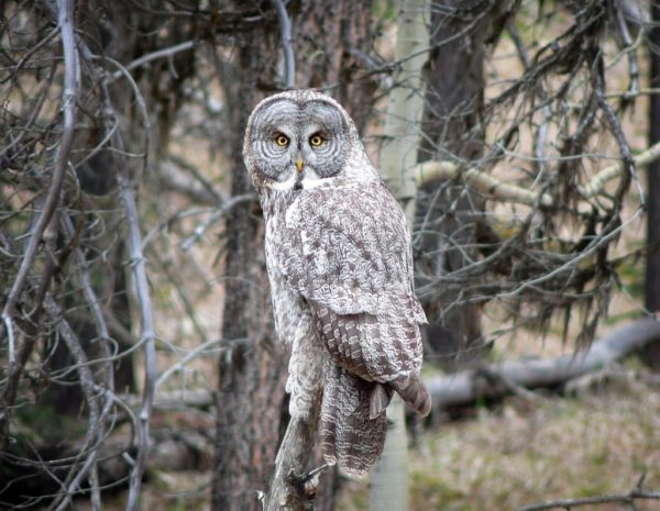 Great Grey Owl by Mike | Flickr | CC BY-NC 2.0