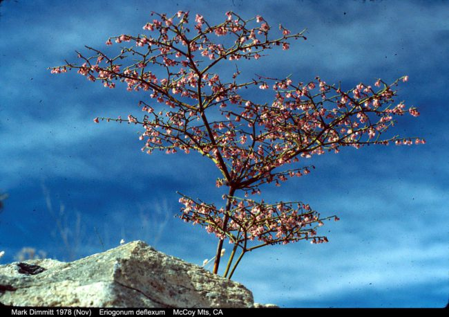 Skeletonweed (Eriogonium deflexum) by Mark Dimmitt