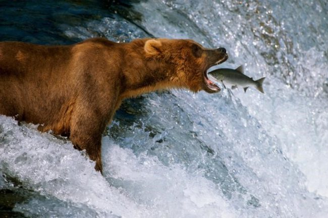 Mangelsen, Catch of the Day. Mangelsen's portrayal of a spawning sockeye salmon leaping in the mouth of a wild Alaskan brown bear, is one of the most famous wildlife photographs of the modern age.  The amazing part of the groundbreaking image is that it isn't the result of digital manipulation.
