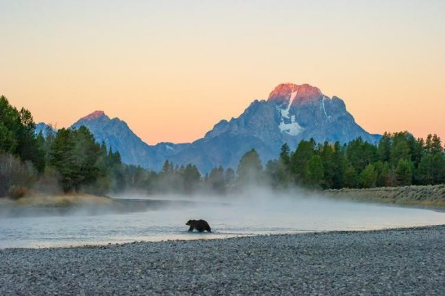 Mangelsen, First Light–Grizzly. First Light—Grizzly, capturing famous Jackson Hole Grizzly 399 with the Tetons rising in the background, is a poignant example of serendipity in wildlife photography.  For Mangelsen, his entire career has been about courting perfect moments; in this dazzling image, the appearance of a legendary bruin, a sweet sunrise and setting dramatically converge.