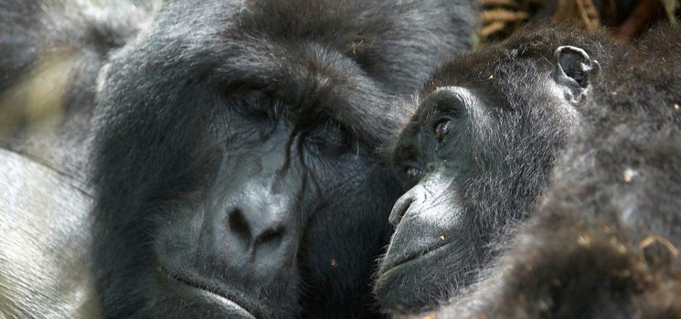 Mountain Gorilla   Photo by Stefan  Gara   Flickr   CC BY-NC-ND 2.0