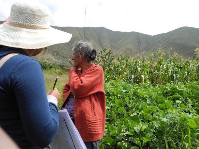 Farmers near the city of Huánuco continue to grow many species and varieties of food plants in their fields and gardens in this mountainous landscape. Karl Zimmerer, CC BY-ND