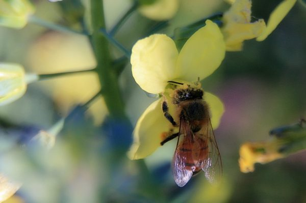 Bee is for broccolli by TJ Gehling | Flickr | CC BY-NC-ND 2.0