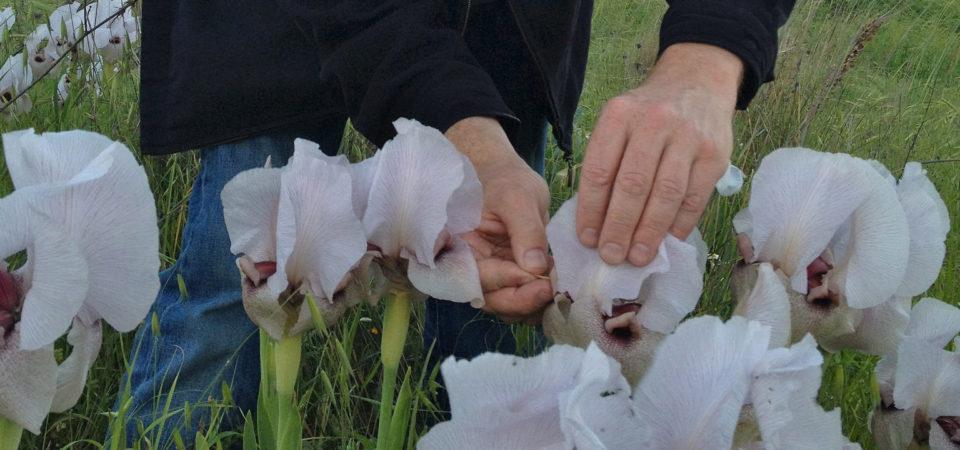 Hand pollinating Iris Lortetii by Yonat Sharon | Flickr | CC BY 2.0