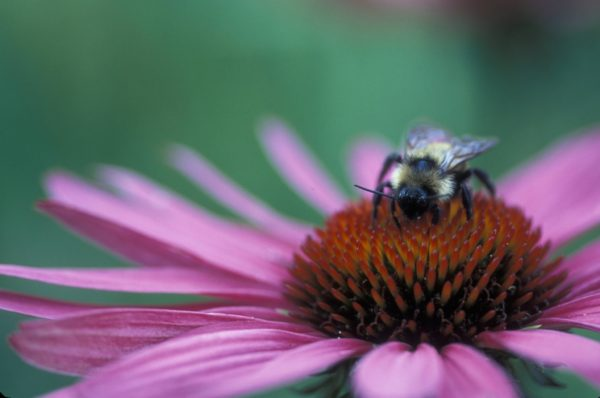 Bee on Echinacea Flower by U.S. Fish & Wildlife Service | Flickr | CC BY 2.0