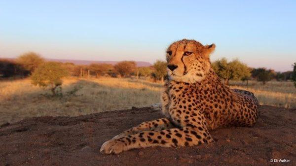 Photo credit: Cheetah Conservation Fund/Eli Walker