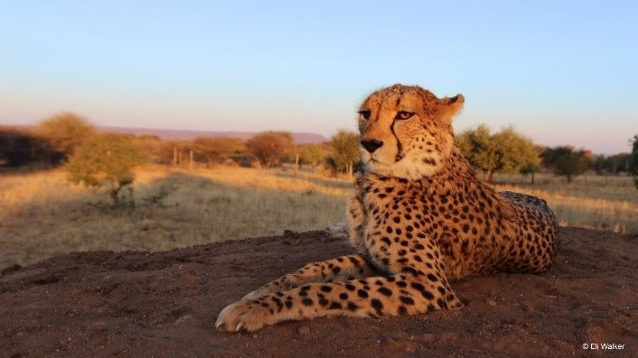Photo credit: Cheetah Conservation Fund/Eli Walker