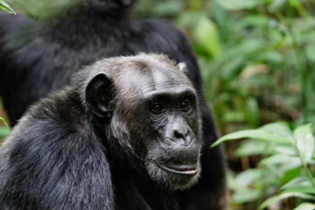 Figure 1. A photo of an ape –Chimpanzee. Ah, the great apes are so much like us the humans.  Look at the intelligence radiating in the eyes of this chimpanzee! Image by Ronald Woan, Kibale National Park Chimpanzee Habituation Experience | Flickr | CC BY-NC 2.0