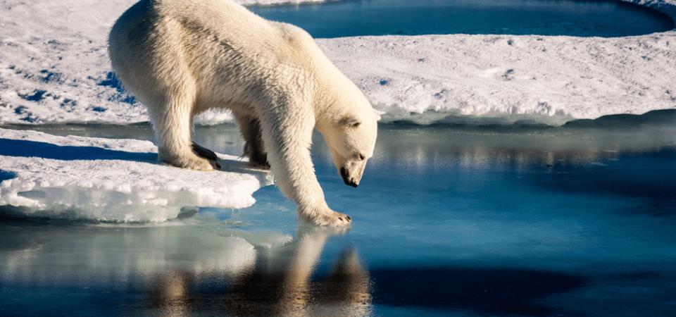Polar bear faces shorter ice season in the Arctic. Image by Mario Hoppman | Flickr | CC BY 2.0