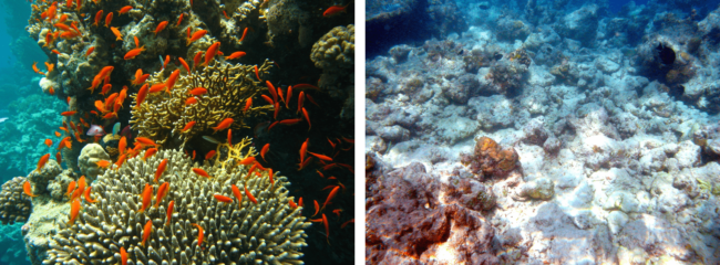 Figure 2: Left, A healthy coral of Egypt's Port Ghalib. Image by J. Hutsch, 2006| Wikimedia Commons | CC BY-SA 2.5; Right, A part of Moofushi's bleached coral reef of the Maldives' Alifu Dhallu Atoll. Image by Bruno de Giusti, 2006 | Wikimedia Commons | CC BY-SA 2.5 Plants