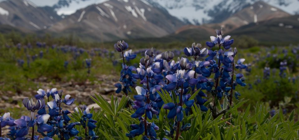 Arctic lupine (Lupinus arcticus) by Sandy Brown Jensen | Flickr | CC BY-SA 2.0