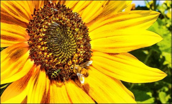 Image of sunflower and bee by Geoffrey Holland