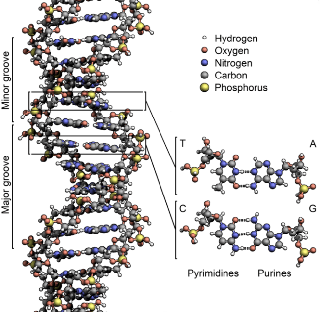 Figure  I-6. In 1953, Watson and Crick discovered that DNA has a double helix structure comprising two long molecules twisted around each other like a ladder. The steps in the ladder are comprised of (A) adenine, (C) cytosine, (G) guanine, and (T) thymine; and the ordering of A, C, G and T is the genetic coding of DNA [34].