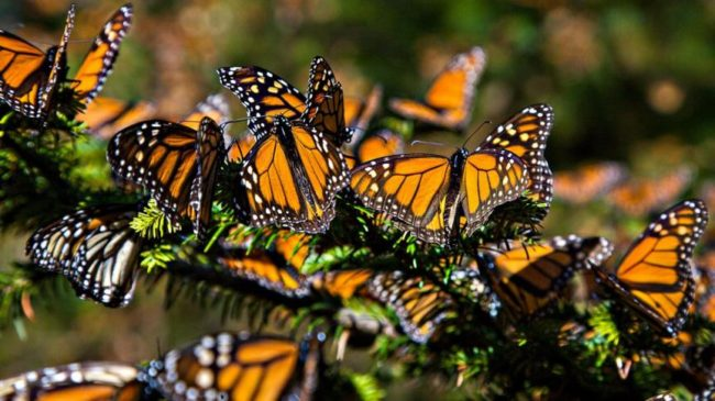 Monarch butterflies are close to extinction, with a 97% population decline