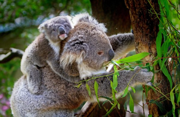 A koala with her baby.