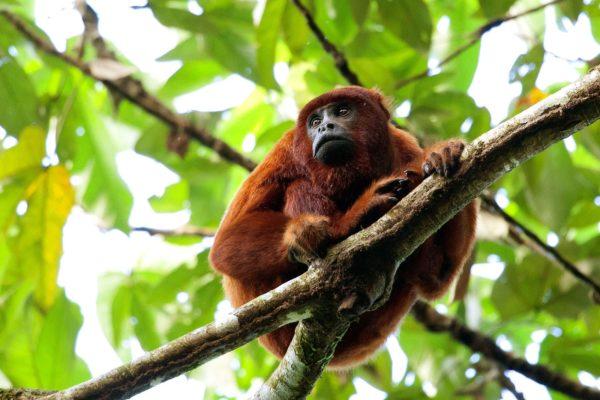 Red Howler Monkey in Manu NationalPark | Wikicommons
