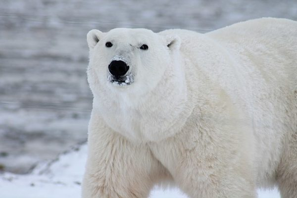 Polar Bear | Wikicommons
