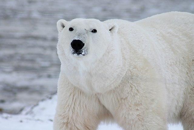 Polar Bear | Wikicommons