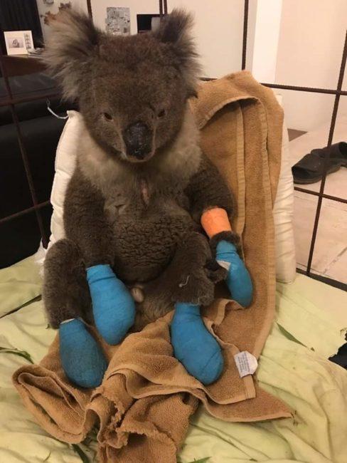Koala - Adelaide Hill Rescue Centre, Adelaide SA | Image courtesy of author.
