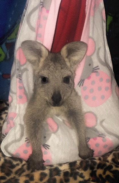 Joey in sling. New England Wildlife Shelter, Tenterfield NSW | Image courtesy of author.