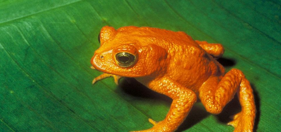 Golden Toad on green leaf