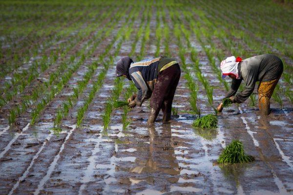 Rice farming