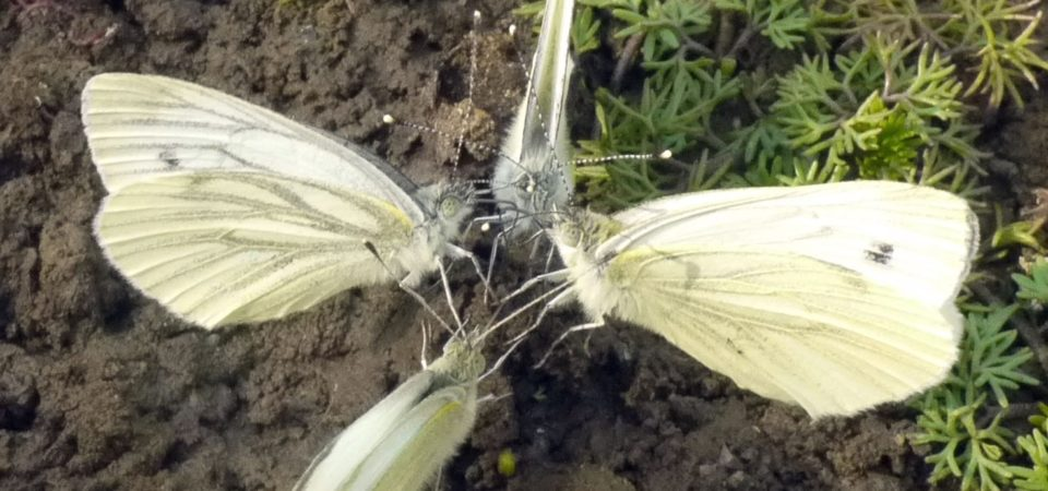Four cabbage-white butterflies