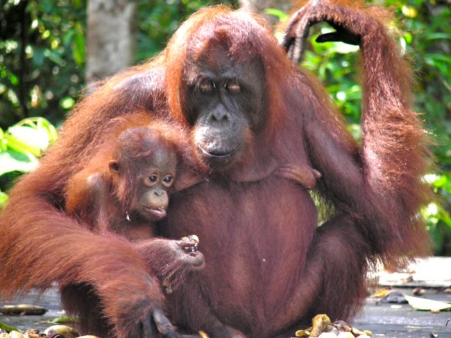 Orangutan-mother with child