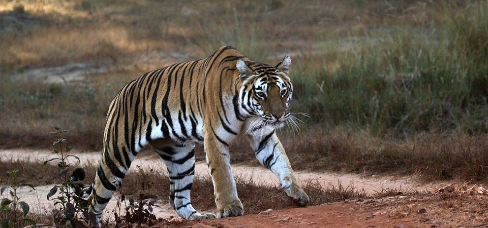 Tiger walking on road