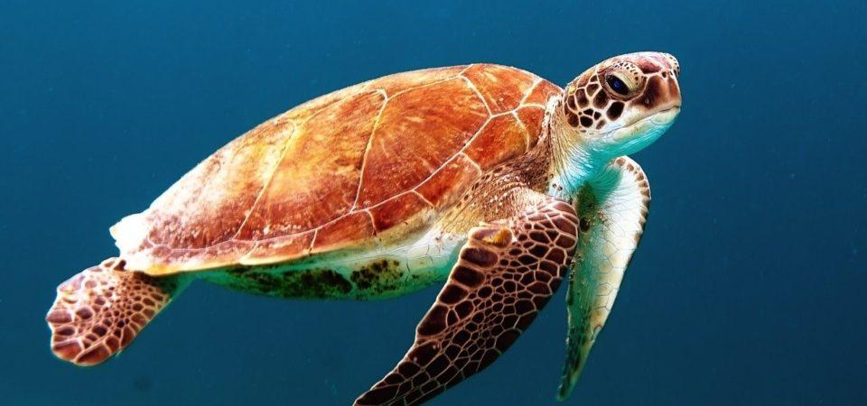 Sea turtle, swimming
