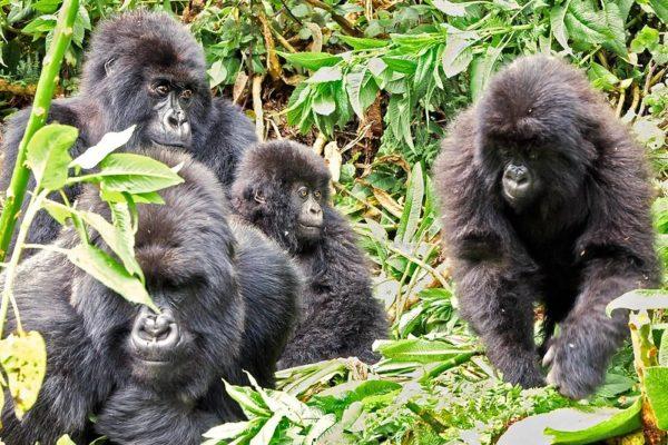 Gorillas in jungle