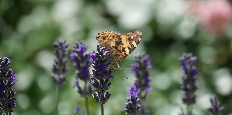 Butterfly on lavender blossom