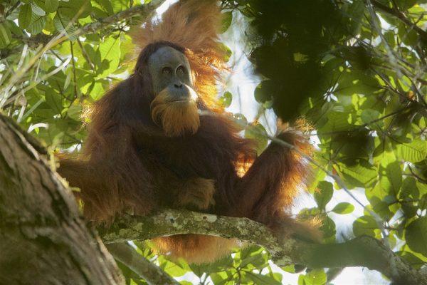 Pongo tapanuliensis - Tapanuli Orangutan in tree