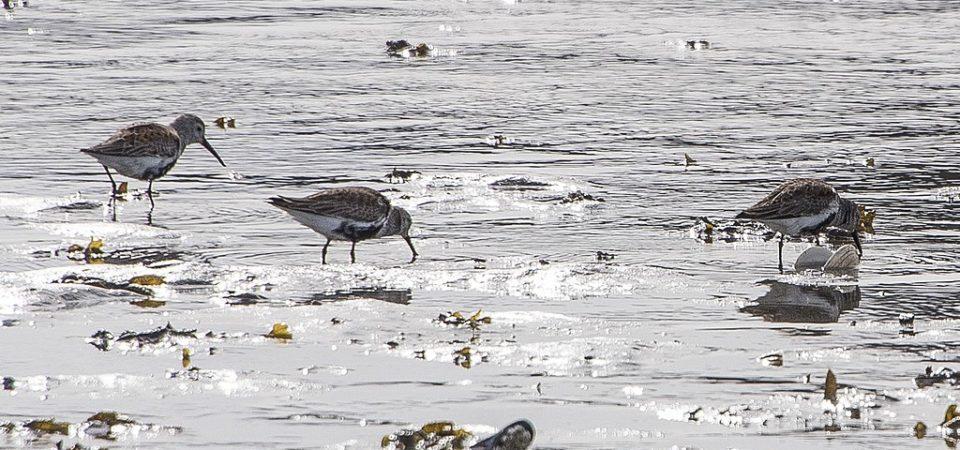 Photo of Dunlins in water, Alaska
