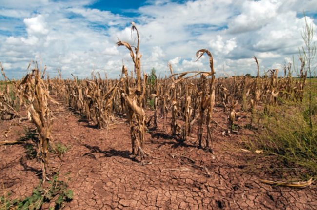 Photo of drought affected corn